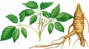tanaman herbal untuk membuat obat kuat