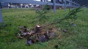 tree town turf guy charlie brown christmas tree