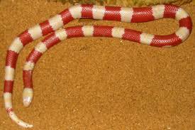 Madagascar Blind Snake 10 Most Amazing Snakes Amazing Snakes Oddee
