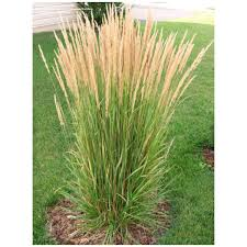 perennial grass erect arching clump 2 3 feathery plumes