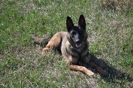 belgian shepherd k9 interlinc lancaster county sheriff k9 unit