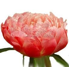 bulk peonies buy wholesale peony wedding flowers