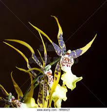 oncidium orchid oncidium orchid up stock photos oncidium orchid up