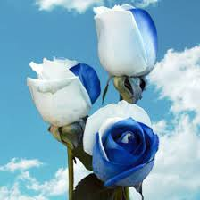 white and blue roses order rainbow roses wholesale global