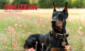belgian shepherd vs doberman meet dreizehn the doberman pinscher on pack