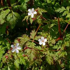 Herb Robert Pictures Getty Images 49 Best Weeds Images On Cannabis And Marijuana Plants