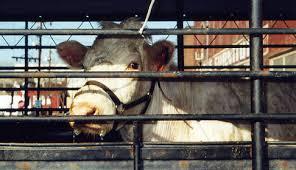 Slaughterhouse Blog by Slaughterhouses Farm Sanctuary Blog