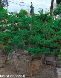 prostrata juniper garden bonsai tree 24