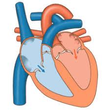 Anatomy Of Heart Valve Heart Valve Wikipedia