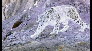 Photos Of Snow Elusive Snow Leopard Of The Himalayas Planet Earth Ii Youtube
