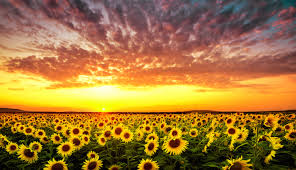 sunflower pictures sunflower meaning flower meaning