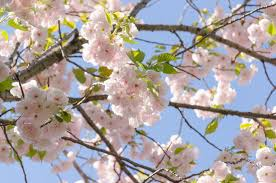 flowering cherry trees grow an ornamental cherry blossom tree