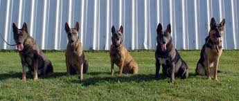 belgian shepherd or malinois cher car kennels what is a blue shepherd