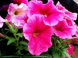 petunia flowers growing petunias tips for petunia care