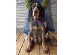 bluetick coonhound oregon puppyfinder com bluetick coonhound puppies for sale around the