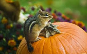 iphone pumpkin wallpaper chipmunk on a pumpkin 10 18 2012 wallpaper kicking designs