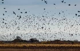 Dove Migration Map Dove Hunting In Cordoba Argentina Luxury Cordoba Dove Hunting