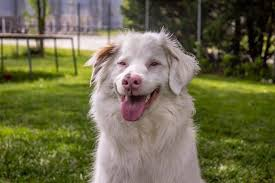 australian shepherd double merle double merle dogs get their awareness day dogtime