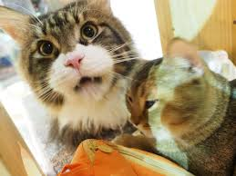 Attempted Murder Meme - stray cat a suspect in japan attempted murder
