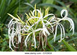 poison bulb spider lily giant crinum lily grand crinum lily