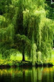 best 25 weeping willow ideas on willow tree trees