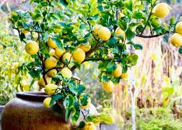 what to do with an what to do with a desiccated lemon the factor house