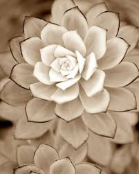 where to buy white desert rose succulent plants nature plants