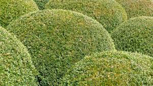 feed boxwood with organic plant food in early spring espoma