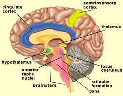Role Of Brain Stem The Brain From Top To Bottom