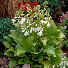 buy hosta fragrant collection j parker dutch bulbs