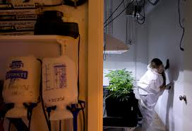 marijuana and pesticides oregonlive com