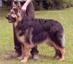 south australian german shepherd breeders king shepherd puppies