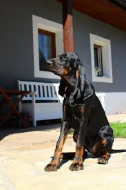 bluetick vs english coonhound 2843 best that darn coon dog images on pinterest bear hunting