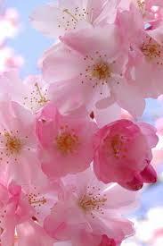 20 best cherry blossom images on pinterest cherry blossoms