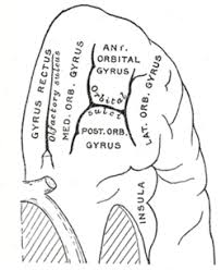 Anatomy Of The Brain And Functions Frontal Lobe Wikipedia