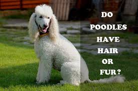 poodles long hair in winter do poodles have hair or fur poodle zone