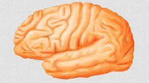 Gross Brain Anatomy Brain Anatomy From Lateral View Drawing Youtube