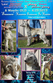 afghan hound of america aaa afghan hounds puppies 8 week litter evaluation sired by am