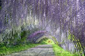 flower wisteria stock photos u0026 pictures royalty free flower