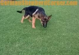 belgian shepherd how to train how to potty train a german shepherd puppy 8 easy tips
