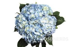 bulk hydrangeas wholesale hydrangea wedding hydrangea bulk hydrangea flowers