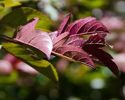 Profusion Flowering Crabapple - ufei selectree a tree selection guide