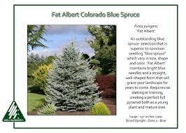 albert colorado blue spruce picea pungens albert