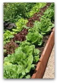 ornamental vegetable garden plants ideas pictures