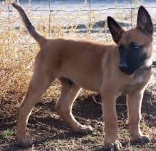 belgian malinois for sale a belgian malinois puppy looks exactly like our stella too