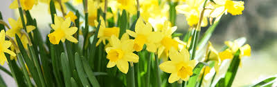 about daffodils gardens and flowers