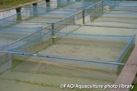 fao data photo singa farm cages in ponds for ornamental grow