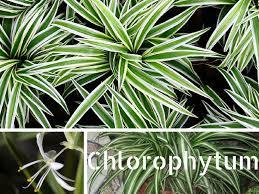 plante verte dans une chambre facile d entretien le chlorophytum comosum est une plante verte