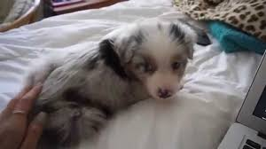 australian shepherd 14 weeks 6 week old australian shepherd u0027s first days at home youtube