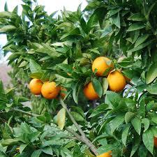 4 5 year moro blood orange tree